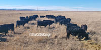30 Angus Cows... Northwest NE