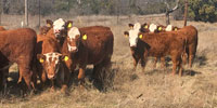 "18 Red Angus Cross ""RWF"" Rep. Heifers... N. Central TX"