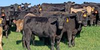 35 Angus Bred Heifers... Southeast AL