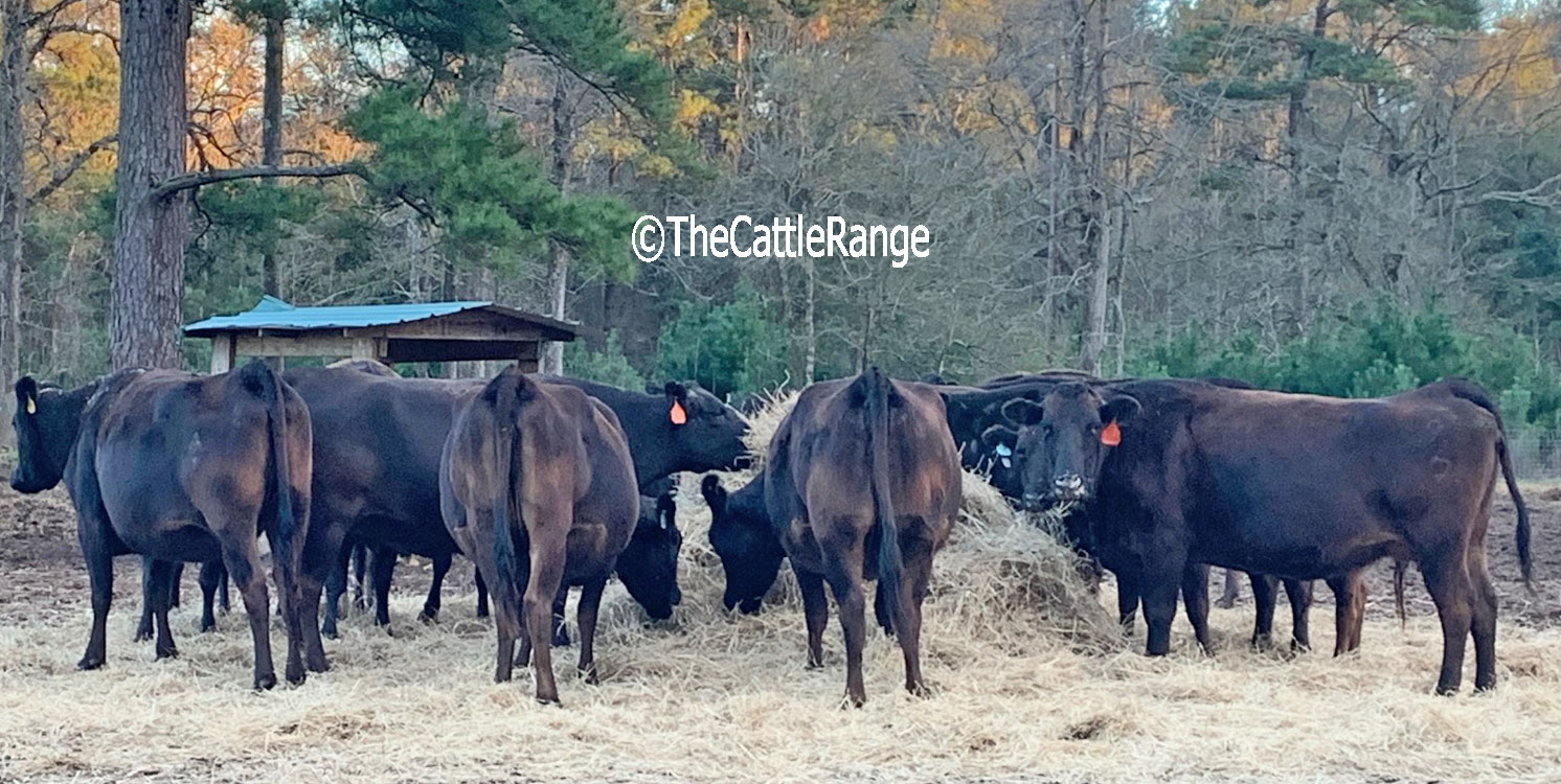 20 Wagyu Cows w/ 7+ Calves... Southeast TX