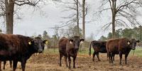 20 Reg. Wagyu Bred Heifers... Southeast TX
