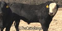 20 SimAngus Bulls... Southwest MO (2)