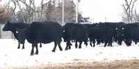 32 Angus Cows... Northeast NE