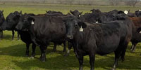 100 Angus Plus Cows w/ 38+ Calves... Central TX