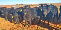 20 Angus Cross Rep. Heifers... TX South Plains