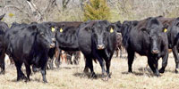44 Angus Cross Cows... Central OK