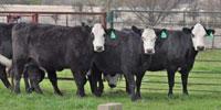 """4 Angus Cross """"BWF"""" 2nd-Calf Cows... Central TX"""