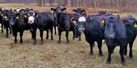 60 Angus & BWF Cows... Southwest MO (1)