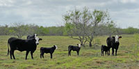 22 Angus Plus Baldy 1st-Calf Heifers w/ 14+ Calves... South TX