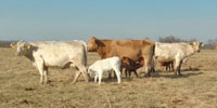 35 Charolais Cross Pairs... Southwest MO