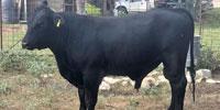 1 Brangus Bull... S. Central TX