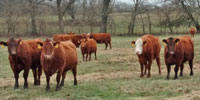 35 Red Angus & RWF Cows... Southwest MO (1)