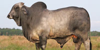1 Reg. Brahman Bull... South FL