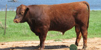 4 Reg. Red Angus Bulls... N. Central TX