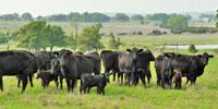 12 Angus & Angus Plus 1st-Calf Pairs... Central TX