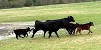 40 Brangus 2nd-Calf Cows w/ 10+ Calves... Southwest AR