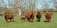 31 Red Angus & RWF Cows w/ 27+ Calves... Southwest MO