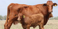 5 Reg. Beefmaster Pairs... South Texas