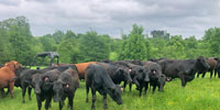 41 Angus Plus Bred Heifers... W. Central LA