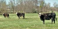 40 Angus & BWF Cows... Southwest MO (2) (2) (4)