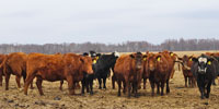 35 Red Angus & BWF Cows... W. Central WI