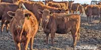 76 Red Angus Bred Heifers... Southeast NE