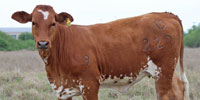 5 Reg. Beefmaster Rep. Heifers... South TX