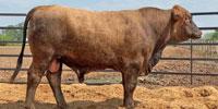 1 Reg. Red Brangus Bull... Central TX ~ PI-N