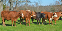35 Brahman Cross & Tigerstripe Bred Heifers... Northwest GA
