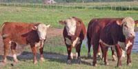 5 Reg. Polled Hereford Bulls... Northeast TX (1)