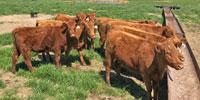 8 Red Angus Rep. Heifers... Northeast AR