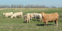 22 Charolais Cross Cows... Southwest MO