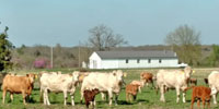 40 Charolais Cross Pairs... Southwest MO