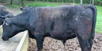 7 Reg. Angus Bulls... Southwest AR