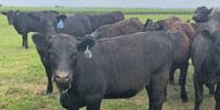 18 Purebred Brangus Bred Heifers... Northeast TX