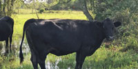 3 Angus Cows... Southeast TX