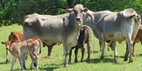 17 Brahman Cross 1st-Calf Pairs... Northeast TX