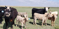"12 Angus Cross ""BWF"" Pairs... E. Central NM"