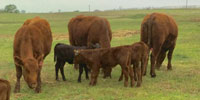 6 Red Angus 1st-Calf Pairs... N. Central OK
