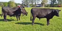 4 Reg. Angus Bulls... Northeast TX