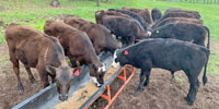18 Angus/Wagyu Cross Stocker Calves... Northwest AR