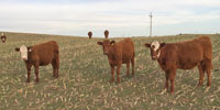40 F1 Hereford/Red Angus Rep. Heifers... Central NE