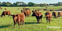 91 Red Angus Rep. Heifers... N. Central TX