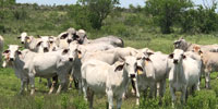 9 Brahman Cows... South TX