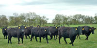 40 Angus & BWF Cows... Southwest MO (2) (2) (5)