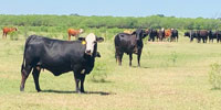 90 Brangus & Crossbred Cows w/ 35+ Calves... S. Central TX