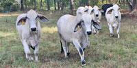 5 Brahman 1st-Calf Pairs... Northeast TX