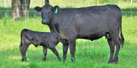 5 Angus/Angus Plus 1st Calf Pairs... Central TX