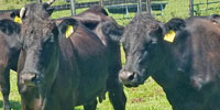 40 Angus/Brangus Cows... Northern FL (1)
