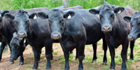 20 Angus & Angus Cross Bred Heifers... East TN